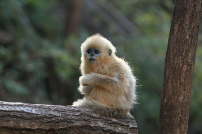 呆萌金丝猴